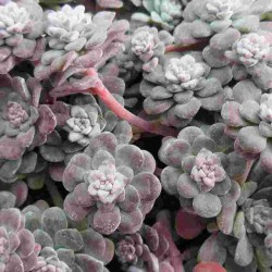 SEDUM CAPE BLANCO